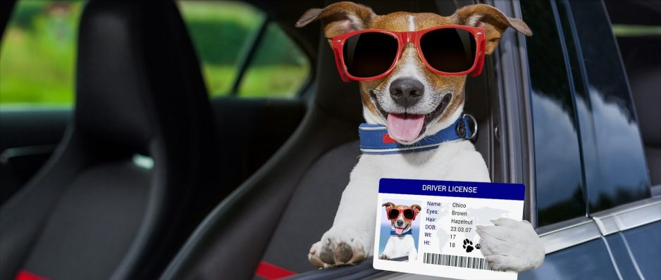 dog inside a car with a license driver in its paw